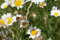 Butterflies on Daisies