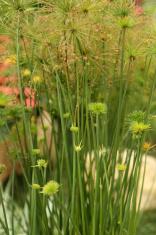 Paper Galingale / Cyperus Papyrus