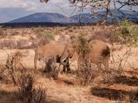 Elephant in Kenya on Safari