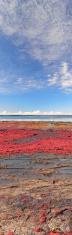 Jervis Bay - Calalla Beach Red Seaweed Panorama, NSW Australia