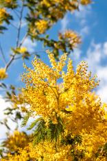 Acacia dealbata branches