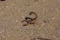 Gelber Sahara Skorpion