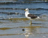 beautiful seagull