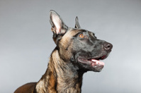Belgian Malinois. Belgian Shepherd Dog. Studio against grey.