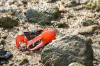 Red-clawed fiddler crab Tai O, Hong Kong