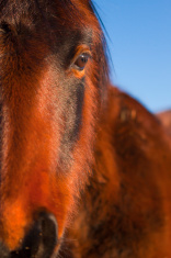 Close Up Wild Bay Mustang Portrait with Blue Sky Background