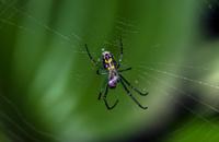 Venusta orchard spider in web