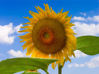Sunflower in the sky.