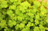 Chinese Herbal Medicine - Oxalis Corniculata L (O Repens Thunb)
