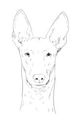 Pharaoh hound dog, pencil drawing