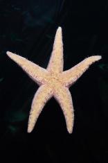Starfish Under Glass