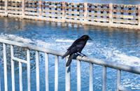 Crow On A Railing