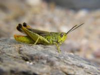 waiting green grasshopper