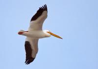 Migrating White Pelican in flight