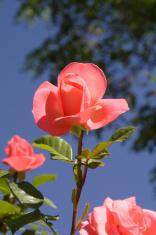 Rose blooming toward heaven