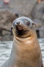 Wet Whiskers on Young Sea Lion