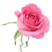rose in powder pink