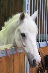 White arabian horse in stable