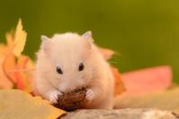 Hamster eating walnut