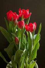 tulip plant in bloom