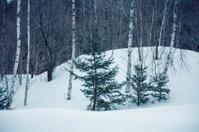 birch, evergreens, etc. in snow