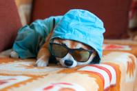 Sad shiba inu dog with blue jacket, hood and glasses