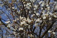 blossom white Hawthorn