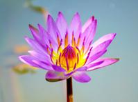 Lotus flower blooming in the rainy season.