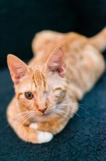 One eyed orange tabby kitten