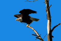 eagle ready to take off