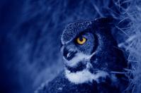 Hooting owl at night