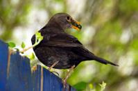 Blackbird eating berrys
