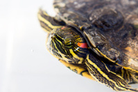 Turtle terrapin
