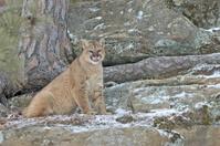 Cougar in light snowfall