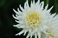 white garden flowers