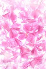 Petals of cherry blossom