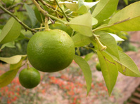 Roman Lime Tree