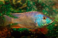 Tropical Fresh Water Fish in Aquarium