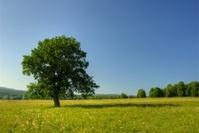 Alone pastoral tree