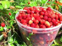 wild strawberry berries fruit dessert summer forest food