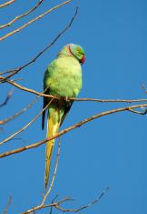 Drara parrot