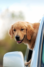 Dog in a pickup