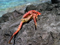 Red crab on rocks