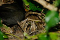 Blackbird feeding here young