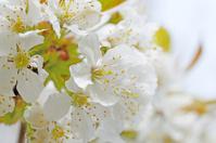 Flower umbel of flowering cherry  tree
