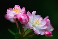 peach blossoms stamen  02