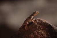 Reptilien in der Sahara