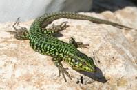 Maltese Wall Lizard