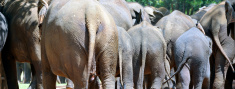 Elephants from behind, Sri Lanka