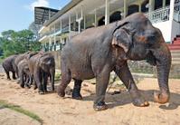 Herd of captive Elephants, Sri Lanka